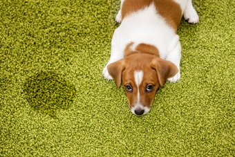 Puppy Jack russell terrier lying on a carpet and looking guilty.